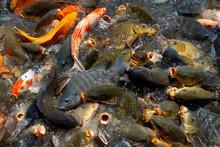 Carp And Catfish Feeding