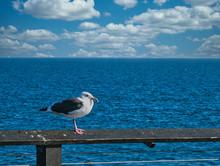 Seagull Over Blue Sea