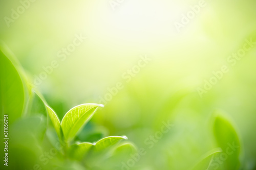 Closeup nature view of green leaf on blurred greenery background in garden with copy space for text using as summer background natural green plants landscape, ecology, fresh wallpaper concept. - 311056751