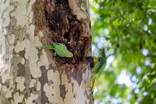 Parakeets Take Refuge In Londo...