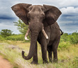 canvas print picture - Elephants in the Kruger National Park South Africa