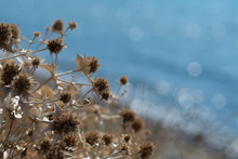 Dry Thistle On Blurred Blue Se...