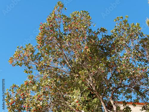 Photo Strawberry tree (Arbutus unedo) a mediterranean shrub full of ripe and unripe fr