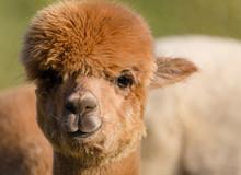 Cute Alpaca Face Closeup