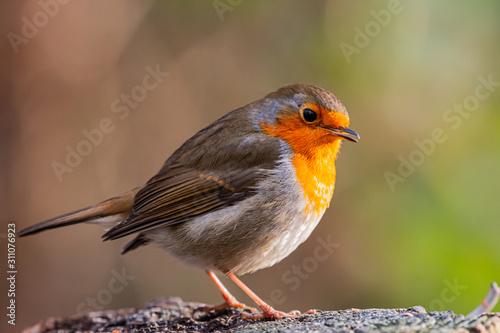 Photo  Robin in the garden