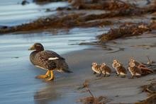 Falkland Steamer Duck (Tachyeres Brachypterus) With Chicks On A Sandy Beach On Sea Lion Island In The Falkland Islands.