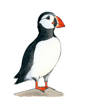 Puffin. Hand Drawing Watercolor Sketch. Black Outline On White Background. Colorful Illustration. Picture Can Be Used In Greeting Cards, Posters, Flyers, Banners, Logo, Further Design Etc.