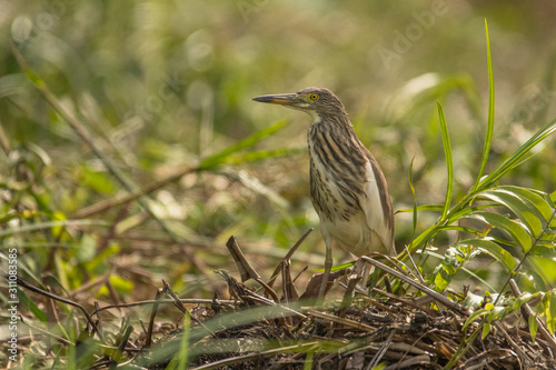 Chinese pond heron / Ardeola bacchus Canvas Print