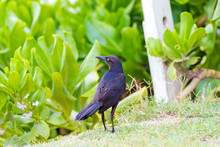 Boat-tailed Grackle With Plant...