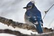 Geai bleu sur une branche de bouleau