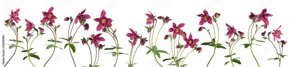 Fototapeta Columbine flower isolated on white background