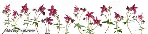 Obraz Columbine flower isolated on white background - fototapety do salonu