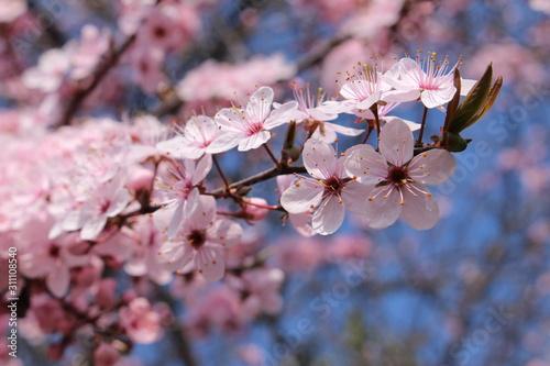 Fotografie, Tablou White Blackthorn flowers (or Sloe, Sloe Plum, Buckthorn) in St