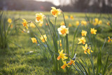 Close up yellow and white daffodils flowers spring field