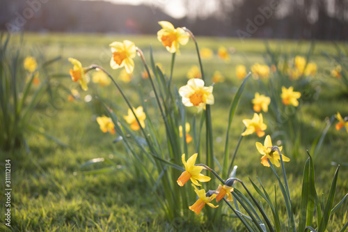 Close up yellow and white daffodils flowers spring field Wallpaper Mural