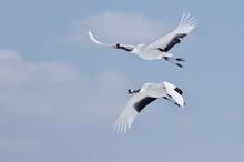 Red-crowned Cranes In Flight 丹頂カップル飛翔 北海道