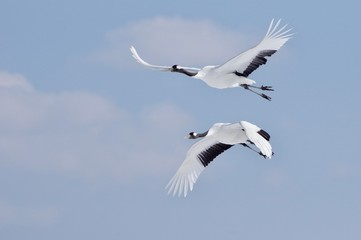 Red-crowned Cranes in flight 丹頂カップル飛翔 北海道