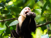 White Faced Capuchin Monkey Ea...
