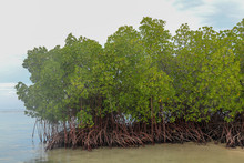Mangrove In Shallow Water Of Indian Ocean. Roots Of Green Mangrove Shrubs Above Sea Level At Low Tide Time. Overcast Sky With Scenic Clouds In The Background Illustrates The Natural Atmosphere.