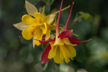Yellow And Red Columbines