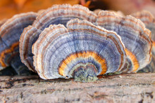 Close Up Of A Blue And Orange Turkey Tail Mushroom (Trametes Veriscolor)