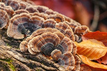 Brown And Orange Turkey Tail M...