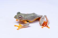 Rhacophorus Bipunctatus (Double-spotted Red-webbed Tree Frog, Double-spotted Treefrog, Himalaya Flying Frog, Orange-webbed Tree Frog, Twin-spotted Bushfrog, Twin-spotted Tree Frog)