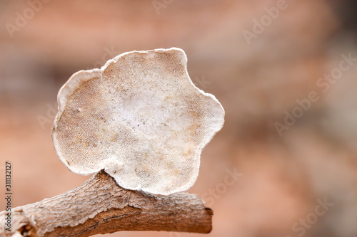 Fotografering White polypore (Trametes sp.) mushroom growing on a stick