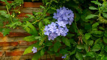 Bunch Of Blue Tiny Petals Of Cape Leadwort Blooming On Greenery Leaves And Brown Brick Wall Background, Know As White Plumbago Or Sky Flower