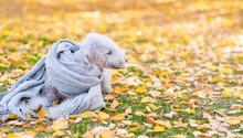 Bedlington Terrier Dog Wearing...