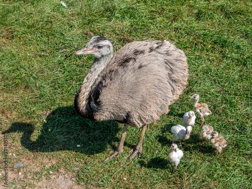 Photo Emu and Chicks