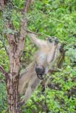 Fototapeta Sawanna - Kotawiec sawannowy (Vervet monkey)