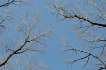 Looking Up At Branches Of Trees Against Blue Sky