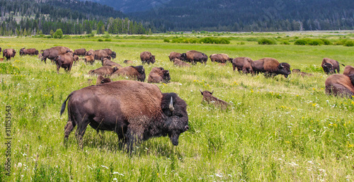 Leinwand Poster Wild bison in Yellowstone National Park, USA