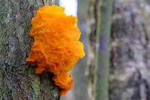 Interesting Mushroom Tremella Mesenterica (yellow Brain, Golden Jelly Fungus, Yellow Trembler), Looking Like Orange Jelly On The Tree. Has Healing Properties.