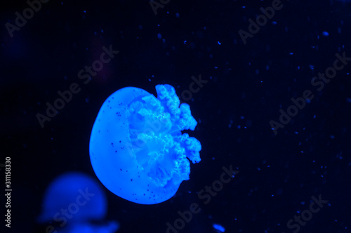 Obraz na plátně Beautiful blue jellyfish in neon light floating in the aquarium.