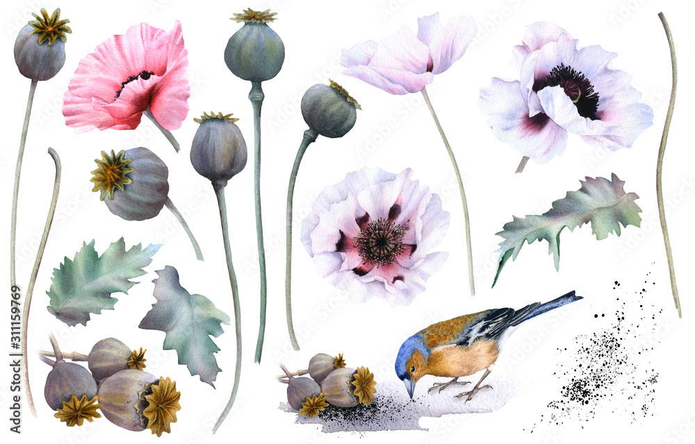 A picturesque set of full-blown poppy flowers, buds, leaves, stems, poppy capsules (heads) and a bird with seeds hand drawn in watercolor isolated on a white background. Set of watercolor elements.