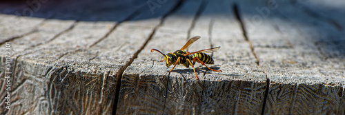 wasp insect sits on an old stump on a blurry background on a sunny day Fototapet