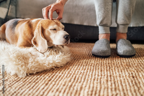 Cuadros en Lienzo Beagle dog owner caress stroking his pet lying on the natural stroking dog on the floor and enjoying the warm home atmosphere