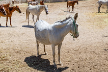 Close-up Portrait Of A Mule In A Corral In Cappadocia.