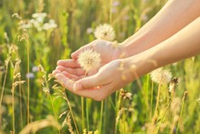 Dry Fluffy Dandelion In A Childs Hand, Meadow Grass And Flowers Background