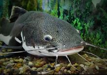 Catfish In The Ocean Aquarium....
