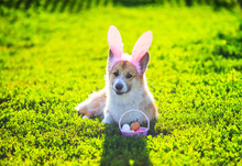 Cute Contented Ginger Corgi Dog Puppy Lies On A Green Meadow In Pink Bunny Ears With Easter Egg Basket