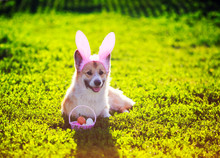 Cute Contented Ginger Corgi Dog Puppy Lies On A Green Meadow In Pink Bunny Ears With Easter Egg Basket In Sunny Garden