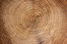 Wooden Texture From Cut Tree Trunk Of Maple Tree, Closeup. Cross Section Of A Tree Trunk. Top View