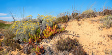 Dune Landscape With Mediterranean Immortelle, Yellow Blooming Coastal Flower Algarve Portugal And Blue Sky