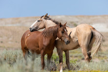 Wild Horses In Summer In Sand Wash Basin Colroado