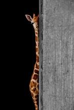 Peekaboo (Giraffe Peeking Around A Wall)