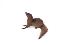 Close Up Of Javan Mongoose Or ...
