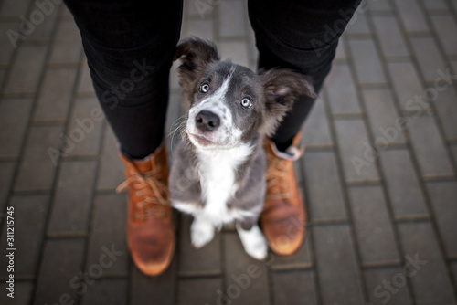 Fotografia border collie puppy sitting between owner legs and looking up, top view portrait